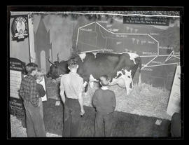 Unidentified boys looking at Ayrshire cow, Byreholm Grace, probably at Pacific International Live...