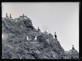 Western Gulls and Cormorants