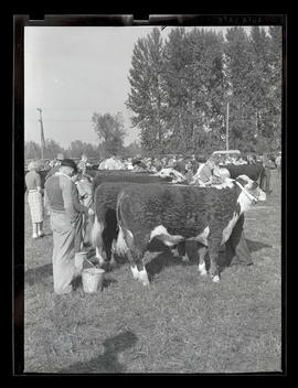 Young people with cattle, probably at Pacific International Livestock Exposition