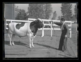 Unidentified man with bull, probably at Pacific International Livestock Exposition