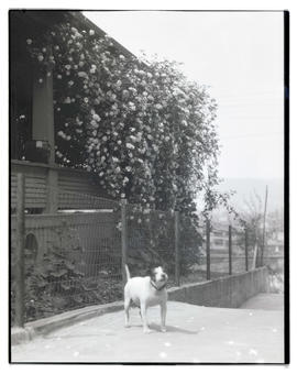 Dog outside house with large trailing rosebush on side of porch