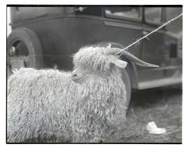 Angora goat, probably at livestock show