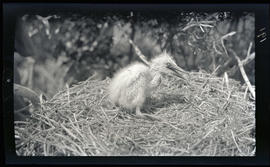 Common egret chick