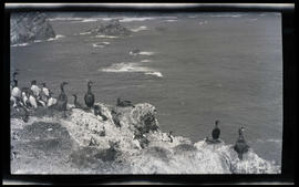 Cormorants and murres