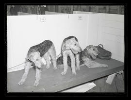 Three Airedale terriers?, probably at Pacific International Livestock Exposition