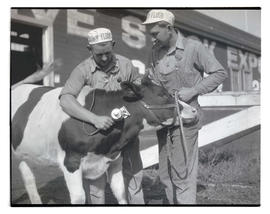 Men shaving heifer