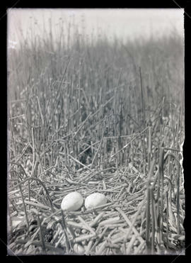 Pelican Nest and Eggs