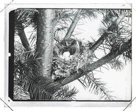 Nest in a fir tree